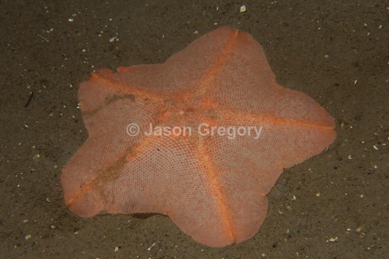Anseropoda placenta - Starfish (Echinodermata)
