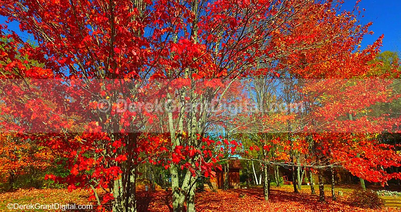 Red Maples in Autumn New Brunswick Canada Fall Color Leaves - Autumn Festival