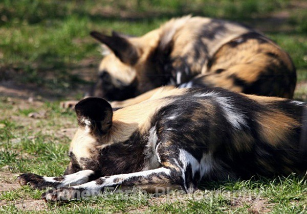 African Wild Dogs 4 - African Wild Dogs