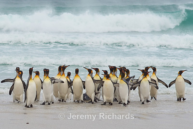 King Penguins on the Beach - Volunteer Point