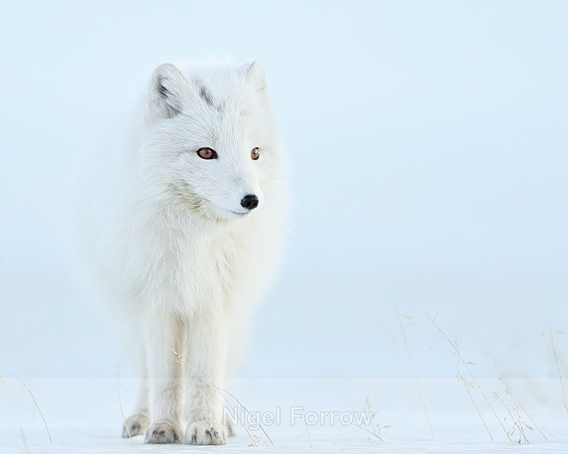Arctic Fox standing still, Svalbard, Norway - Arctic Fox