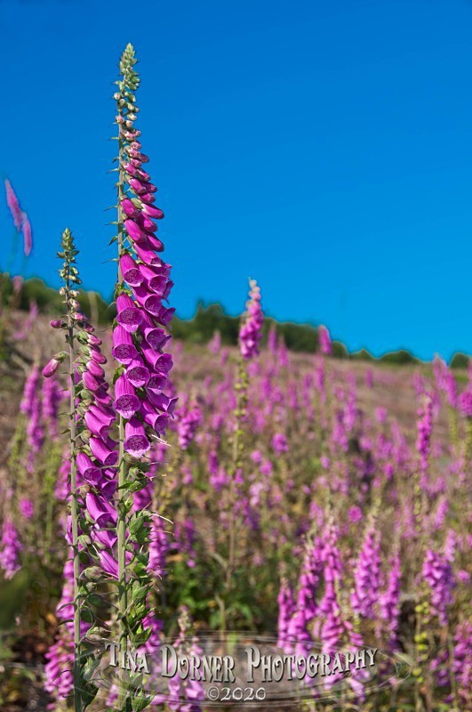 Foxglove Field from Plant and Flower Portfolio by Tina Dorner Photography