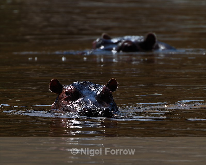 Semi-submerged Hippos in a pool at Mara Enkipai - Hippopotamus