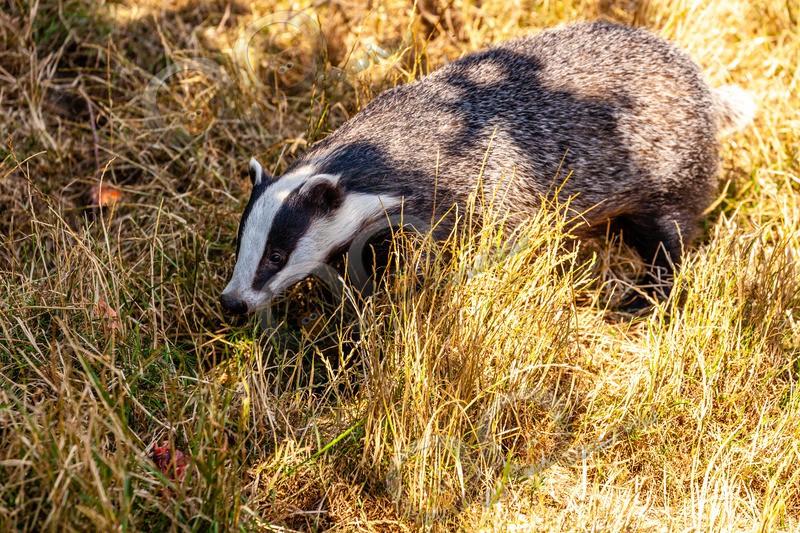 badger Meles meles-8743 - UK Wildlife