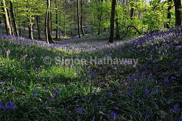 Nibthwaite Bluebells - May-time near Greenodd - English Lake District