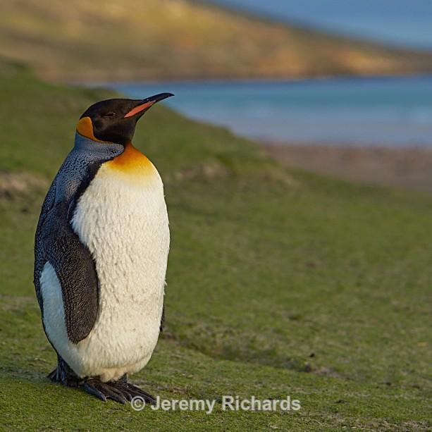 King Penguin - Saunders Island