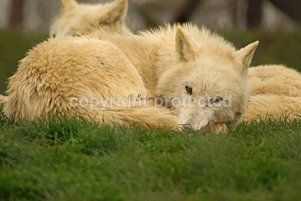 White Wolf - Nuna resting (Woodside Wildlife Park) - Smaller Cats & Other Wildlife - Wolves