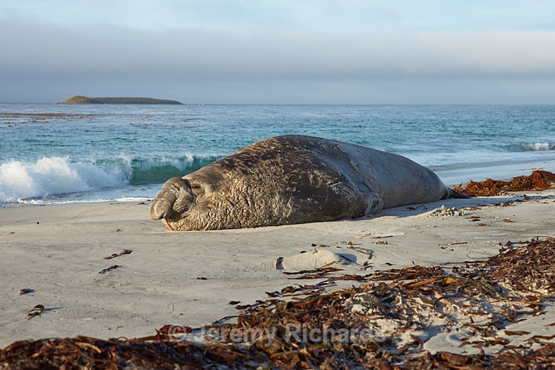 Elephant Seal - Sea Lion Island