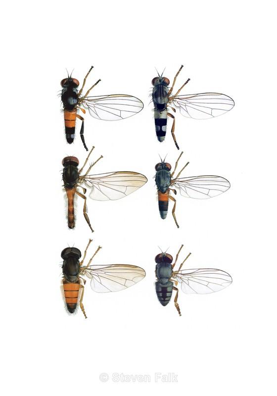 Platypezids - Flies