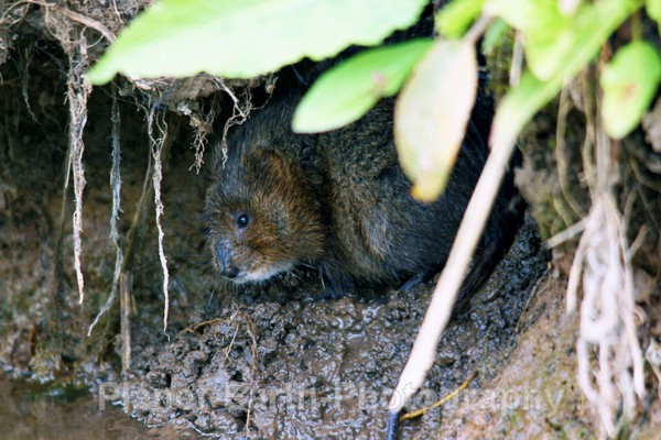 Water Vole - UK Wildlife