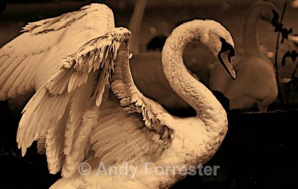 Sepia Swan - Recent