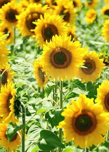 Sunflower - Picos de Europa, Spain