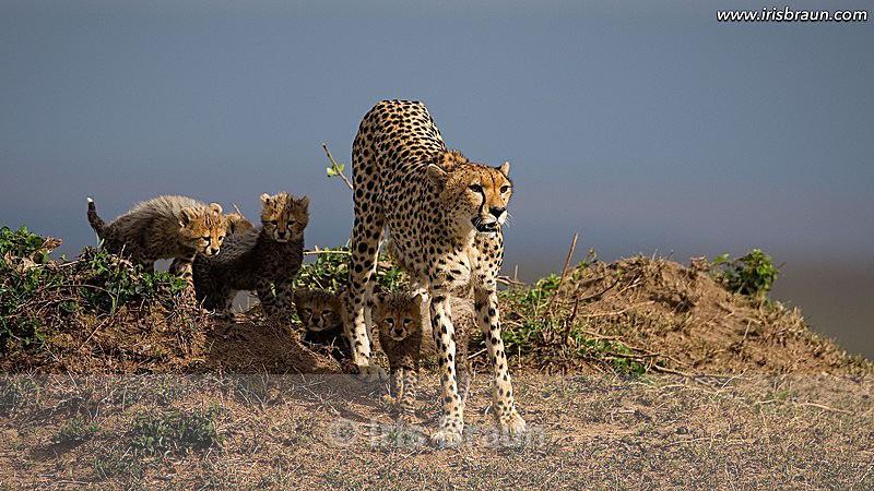 Mara Family - Cheetah