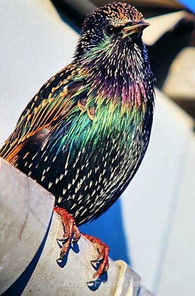 Shining Starling - Birds