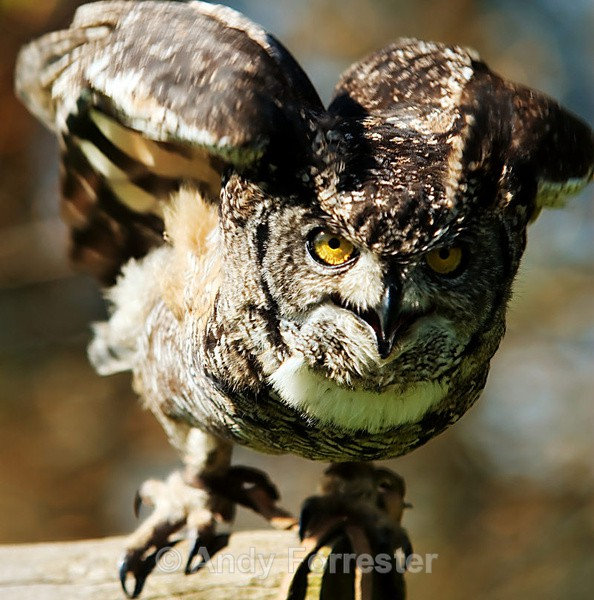 Owl Take Off - Falconry