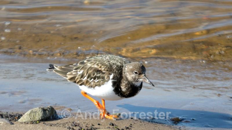 Turnstone - Birds