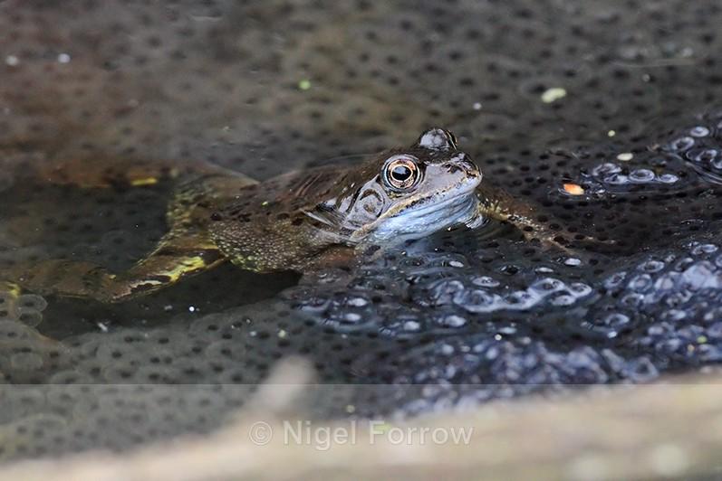 Common Frog amongst frogspawn at Otmoor - REPTILES & AMPHIBIANS
