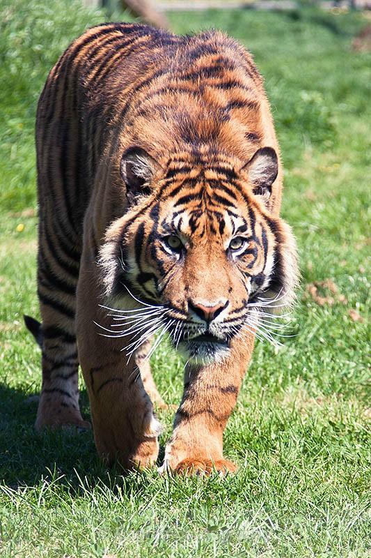Tiger Stalking-R2179 - Animals (Fauna)