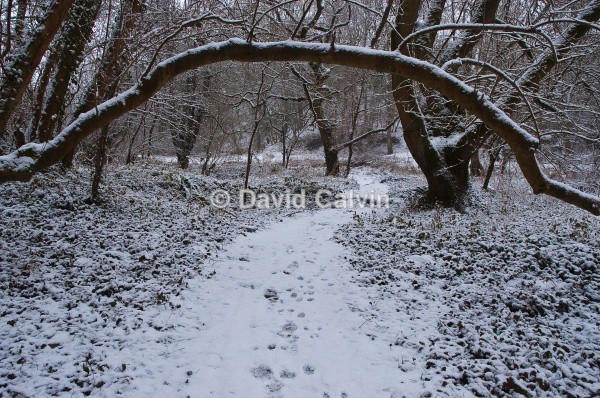 Arched Branch - Winter
