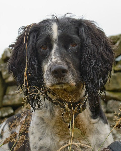 Frear-Spaniel - For T&C