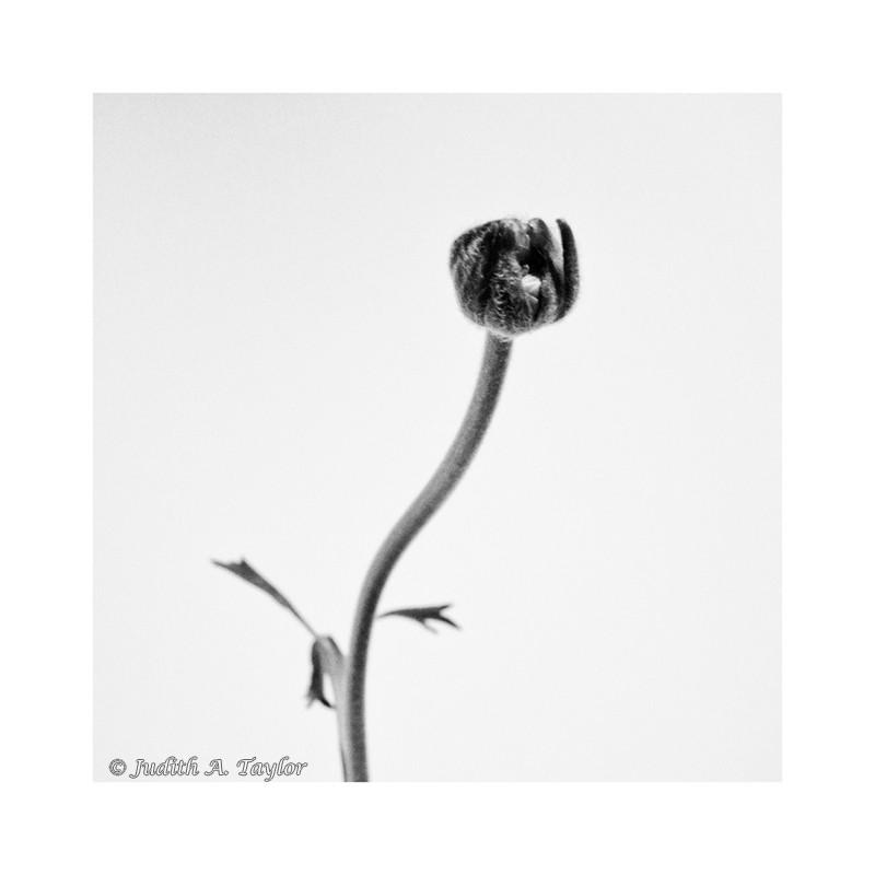 A single ranunculus bud.