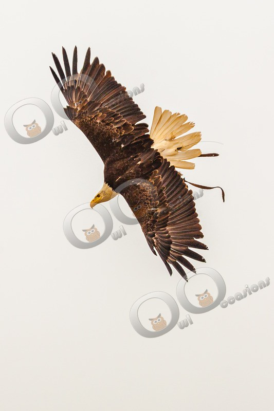 bald eagle Haliaeetus leucocephalus-531 - BoP from around the world