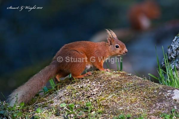 759 - Red Squirrels