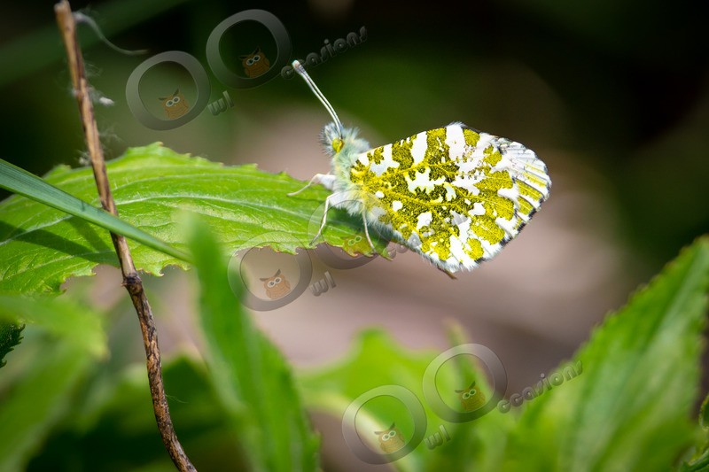 Orange tip butterfly Anthocharis cardamines-7941 - Insects from around the world