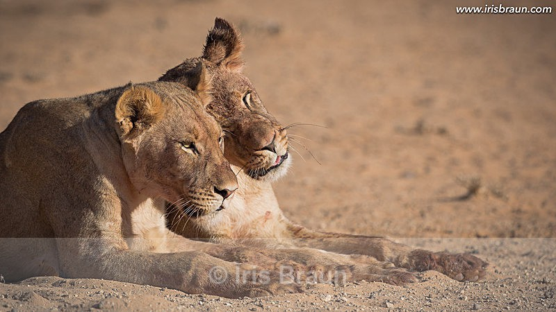 Sisters - Lion