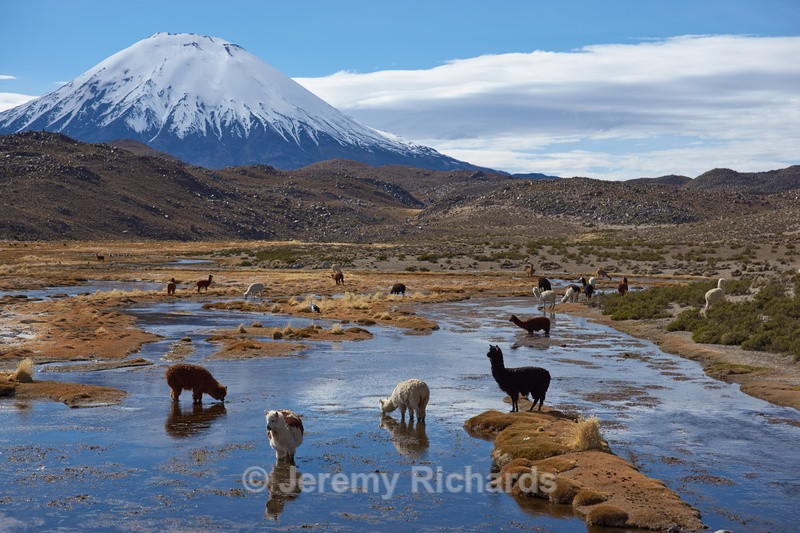 Alpaca Grazing - Altiplano of North-East Chile