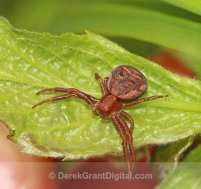 Ground Crab Spider Thomisidae xysticus - Spiders of Atlantic Canada
