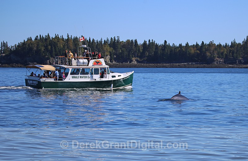 Watching Whales with Island Quest Tours - Bay of Fundy Whales