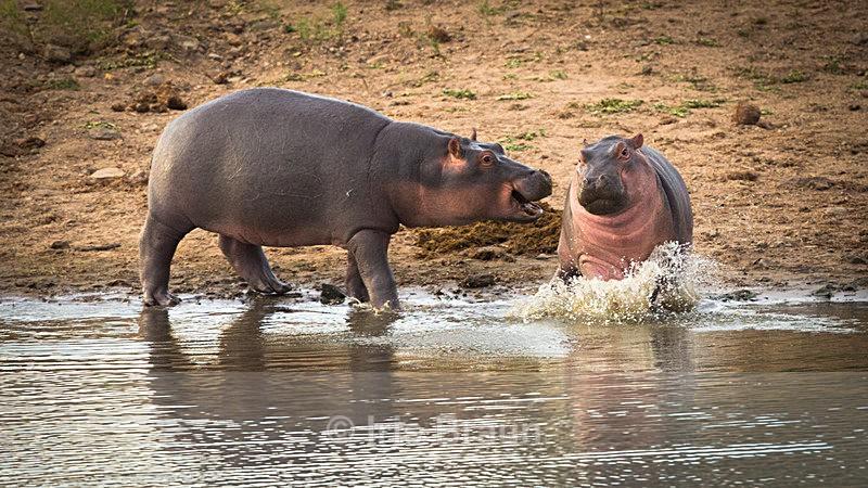 Kindergarten - Hippo