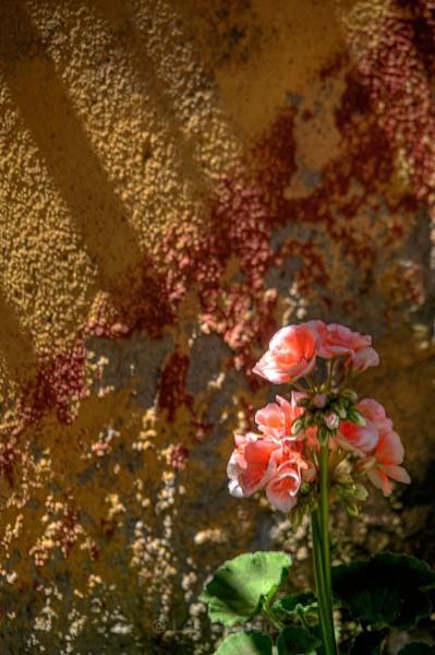 tucan geranium - Tuscany
