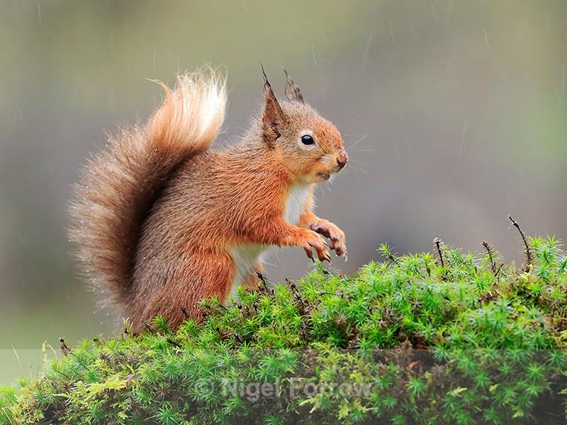 Red Squirrel on a mossy perch in heavy rain, Dumfries, Scotland - Squirrel