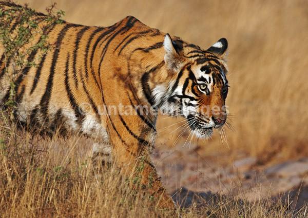 Royal bengal tiger - 2 - India