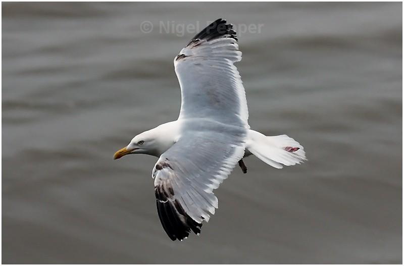 June 5th 2008 ( 1 ) - Leggy the Herring Gull