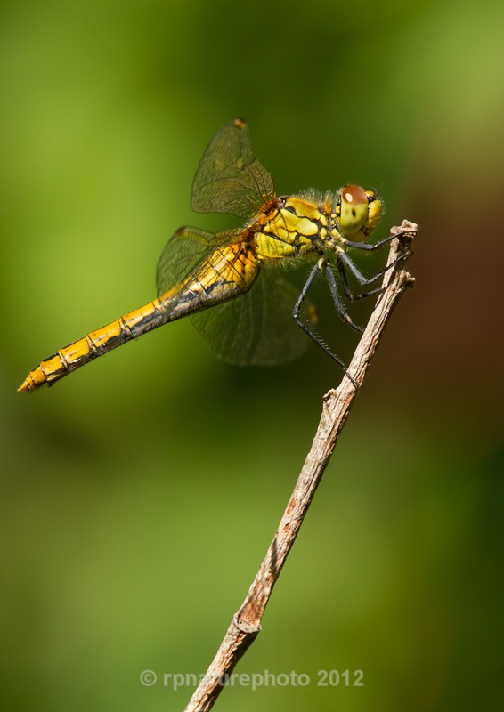 Ruddy Darter - Sympetrum sanguinem RPNP0016 - Insects & Spiders
