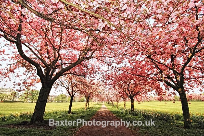Cherry Blossom Canopy - Harrogate Town