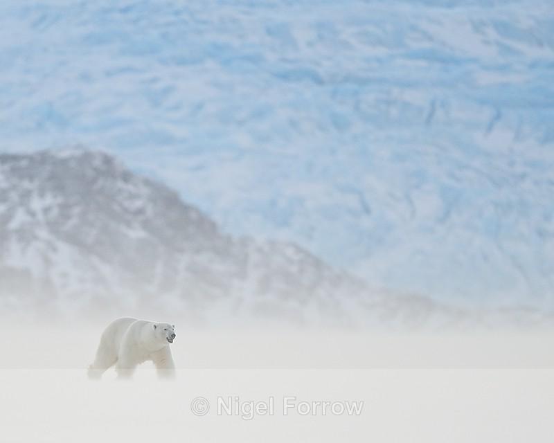 Male Polar Bear, Svalbard, Norway - Polar Bear