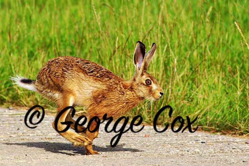 Brown Hare - Mammals
