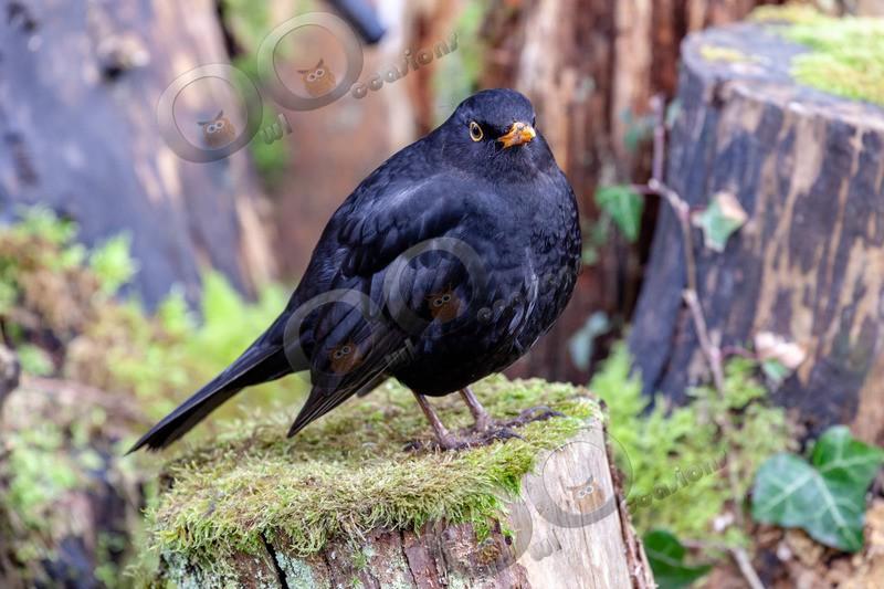 blackbird Turdus merula-3427 - UK birds