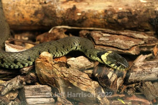 Grass Snake (image GS 007) - Reptiles