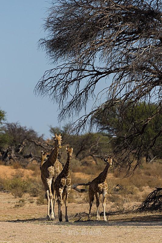 Giraffes of the Kalahari - Giraffe