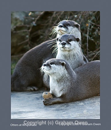 DSC_1414otters-Edit - Whipsnade