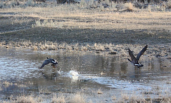 'Cleared for Take-Off' Canadian Geese - Nevada Birds