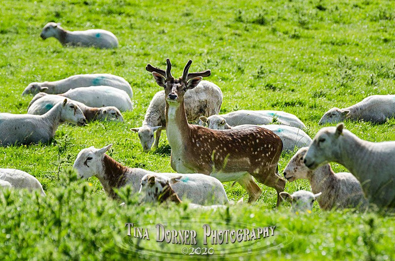 Fallow deer in the sheep