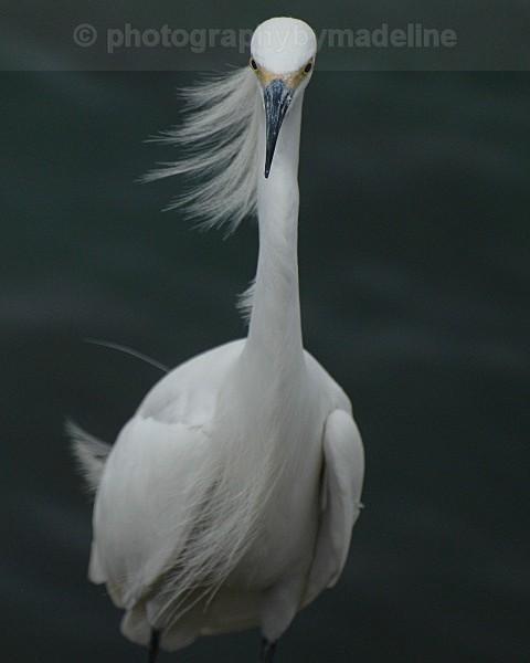 DSC_49791 egret - Birds