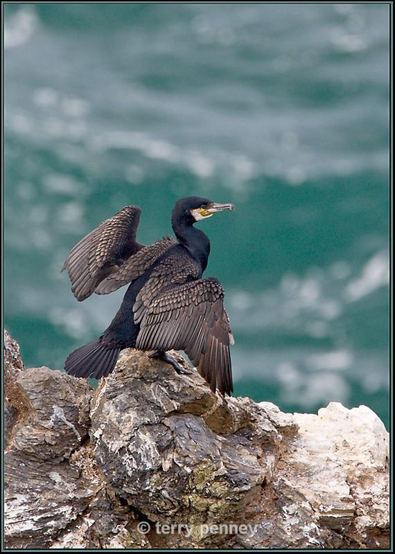 Cormorant - Birds