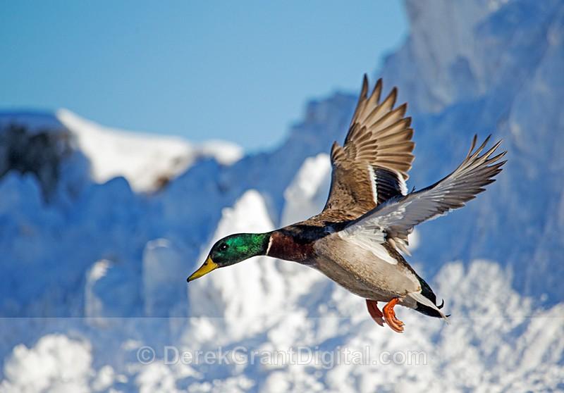 Drake Mallard Landing - Birds of Atlantic Canada